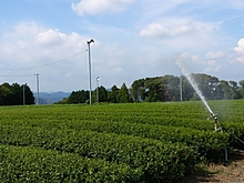 日本一のお茶畑の水まき