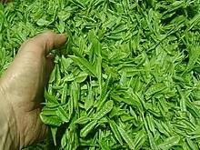 日本一のお茶永田農園の新茶